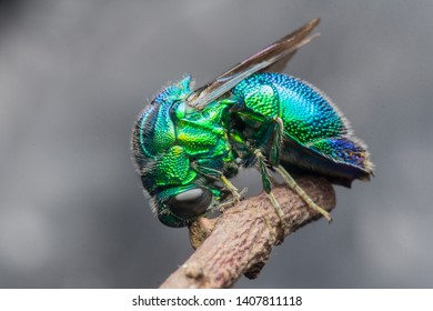 emerald green cuckoo wasp sleeping