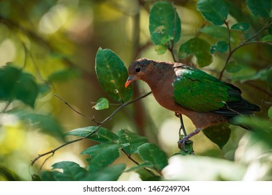 Emerald Ground Dove out in nature during the day.