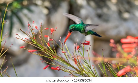 Emerald Humming Bird flying on flowers on the Caribbean Island of Curacao
