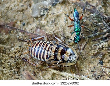 An emerald jewel wasp ( Ampulex compressa) examines her prey of a striped cockroach after stinging it
