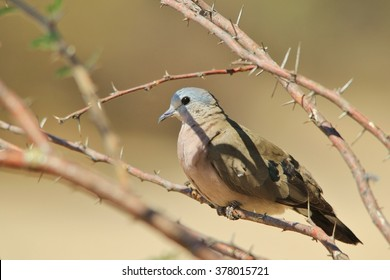 Emerald Spotted Dove - Exotic Colorful Wild Birds from Africa - Looking for Shade