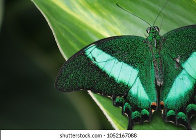 Emerald Swallow tail butterfly (or, green peacock) sitting on green leaf. Close up shot with wide aperture and zero post processing.
