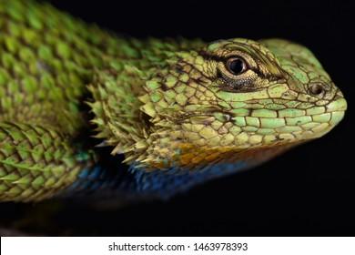 The Emerald swift ( Sceloporus malachiticus)