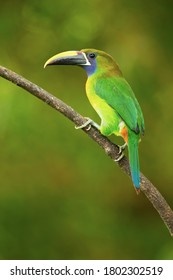 Emerald toucanet or northern emerald toucanet (Aulacorhynchus prasinus) is a species of near-passerine bird in the family Ramphastidae occurring in mountainous regions of Mexico and Central America
