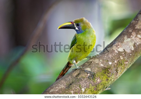 Emerald toucanet is the smallest toucan in Costa Rica. Like other toucans, the emerald toucanet is brightly marked and has a large bill.