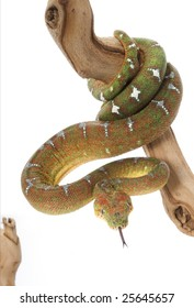 Emerald Tree Boa (Corallus caninus) (female)
