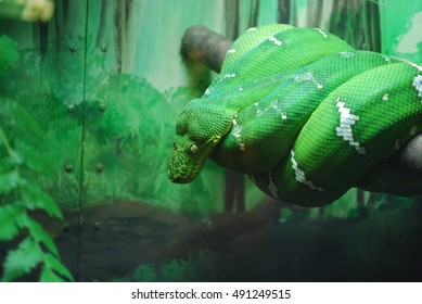 Emerald tree boas are non-venomous snakes found in the rain forest. This one is coiled in a tree.