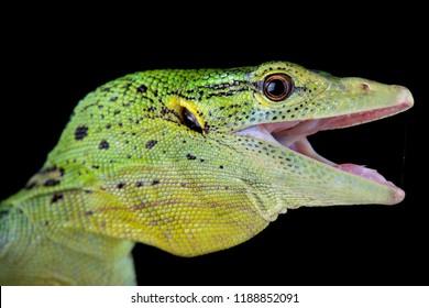 The emerald tree monitor (Varanus prasinus) is a spectacular arboreal lizard found in Papua New Guinea and West Papua, Indonesia.