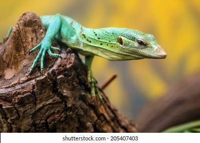 Emerald Tree Monitor, Varanus prasinus, climbing on tree stump