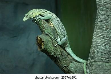 Emerald tree monitor (Varanus prasinus).