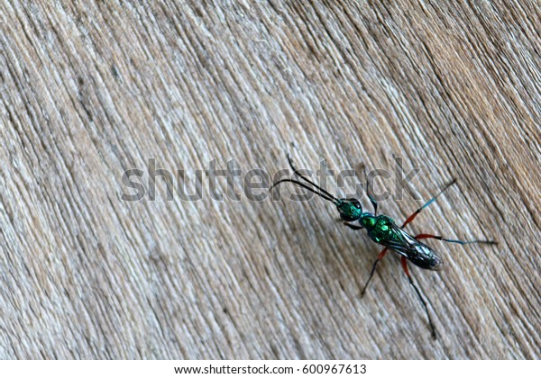 Emerald wasps on the wooden walls.