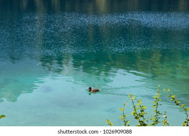 Emerald water of Fusine lake with a duck on surface. Tarvisio, Italy