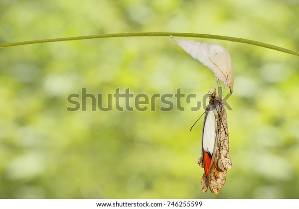 Emerged great orange tip butterfly ( Anthocharis cardamines ) from pupa hanging on twig