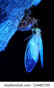 Emerging cicada,Thailand