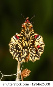 Emerging and metamorphosis of Southern festoon,  Zerynthia polyxena  butterfly,  wings drying on green