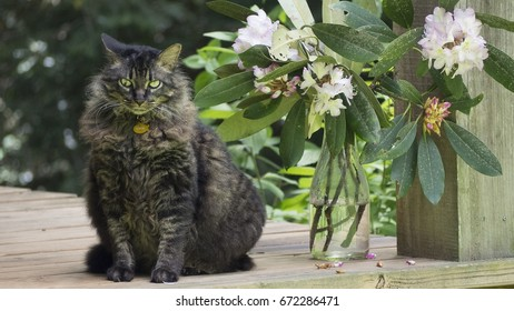 Emilio, a Maine Coon cat who was found at a resort in Mexico and brought back to the United States of America, sits on a porch at his home in the mountains of North Carolina.