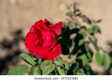 Emily Carr Rose flower in field. Ontario, Canada. Scientific name: Rosa 'Emily Carr'