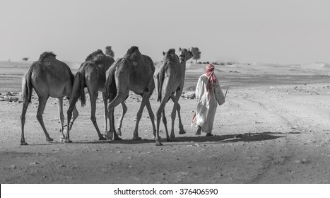 Emirati man with his camels. Near Dubai, United Arab Emirates