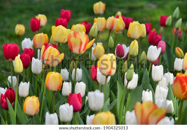 Emirgan, Istanbul, Turkey, 02.04.2018, Red tulips, yellow tulips and white tulips flower blooming in spring garden.
