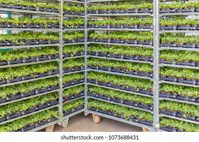 Emmeloord, The Netherlands - April 07: 2018: Greenhouse with racking system of flower bed plants in pots