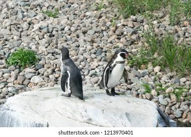 EMMEN, NETHERLANDS - OCTOBER 21, 2018: Two penguins on the rocks at Wildlands Adventure Zoo, Emmen, Netherlands