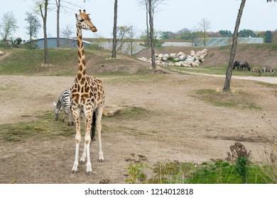 EMMEN, NETHERLANDS - OCTOBER 21, 2018: Giraffe, zebra's and wildebeests at Wildlands Adventure Zoo, Emmen, Netherlands