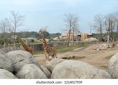 EMMEN, NETHERLANDS - OCTOBER 21, 2018: Two giraffe's at Wildlands Adventure Zoo in Emmen, Netherlands