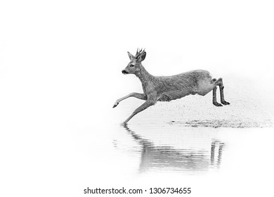 Emotion black and white photo, roe deer - capreolus capreolu running in the water. Action wildlife scene from Sweden