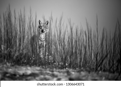 Emotion black and white photo, the wild wolf standing behind the bushes. Wildlife photography in Bulgaria. Artistic photo.