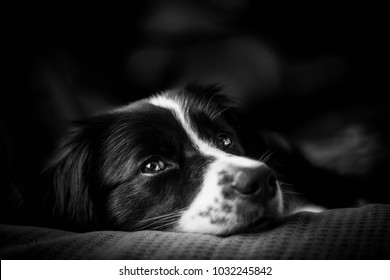 Emotion photo down black and white border collie