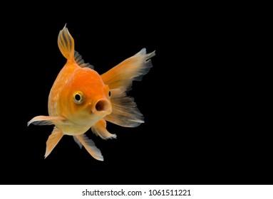 Emotion stance of  Goldfish (Carassius auratus), Action isolate on black background