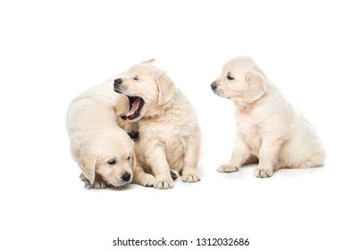 Emotional behaviour of golden retriever puppies sitting isolated on white background
