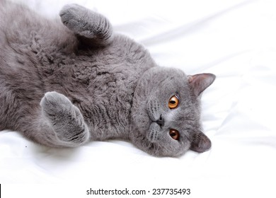 Emotional British short hair cat on a white bed sheets