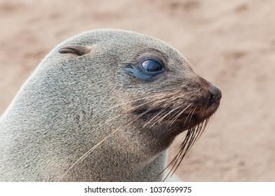 Emotional closeup portrait of lion seal, wildlife in Atlantic ocen coast in Namibia