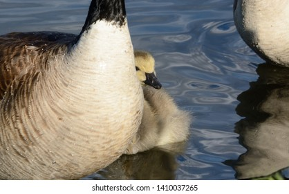 Emotional portrait of gosling life: Baby Canada goose gosling bird swimming close to parents in lake