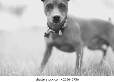 Emotional portrait of a standing pit bull, empathic eyes