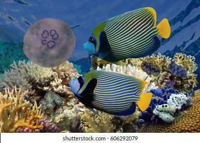 Emperator angelfish (Pomacanthus imperator). Red Sea