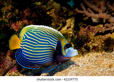 Emperor Angelfish in Aquarium