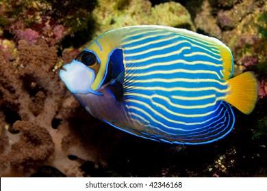 Emperor Angelfish in Aquarium
