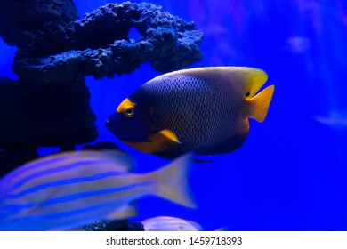 Emperor angelfish in blue water sea coral reef aquarium nature fish wild