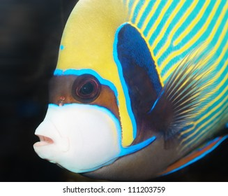 Emperor Angelfish closeup (Pomacanthus imperator)
