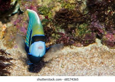 Emperor Angelfish in Coral Reef Aquarium