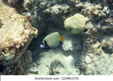 Emperor angelfish coral reef underwater photo