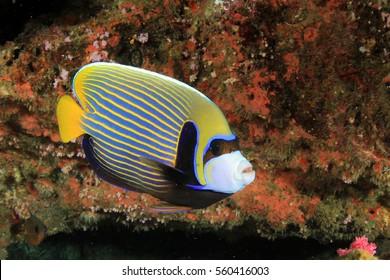 Emperor Angelfish fish