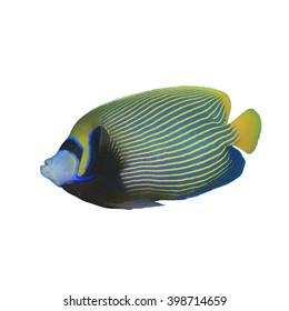 Emperor Angelfish fish isolated on white background