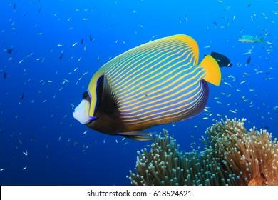 Emperor Angelfish fish in ocean