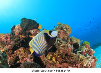 Emperor Angelfish fish on coral reef