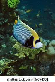 Emperor Angelfish free swimming on coral reef in Indonesia