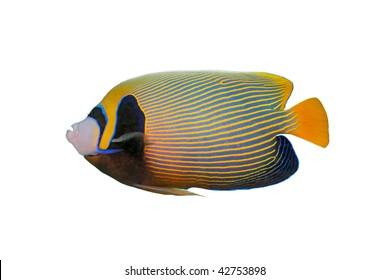Emperor angelfish isolated