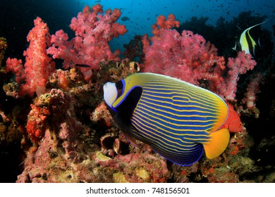Emperor Angelfish and Moorish Idol fish on underwater coral reef